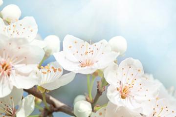 Panel Szklany Podświetlane Do biura Cherry blossoms