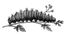 Caterpillar Vintage Illustration