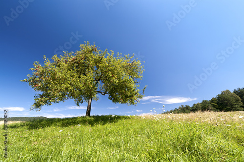 Foto-Kissen - Apfelbaum im Sommer