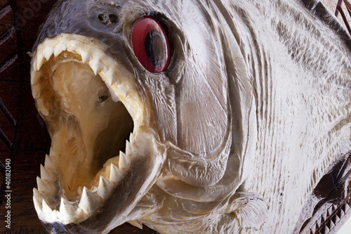Photo  Piranha fish close up