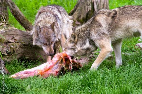 Papiers peints Loup Loups
