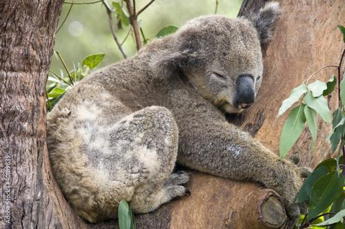 Garden Poster Koala A Koala Bear at a nature reserve near Sydney, Australia.