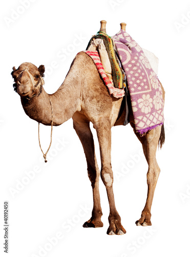 Foto op Plexiglas Kameel A happy, grinning camel isolated in profile