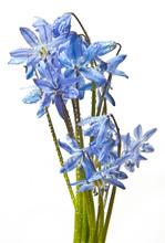 Scilla  - Blue Spring Flowers ...