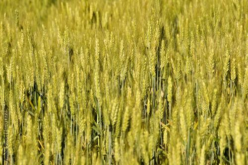 Staande foto Afrika Teff field (harvest)