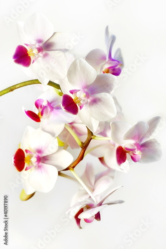 Poster Fleuriste White orchid