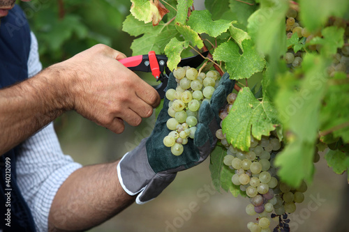 Stampa su Tela Pruning grapes