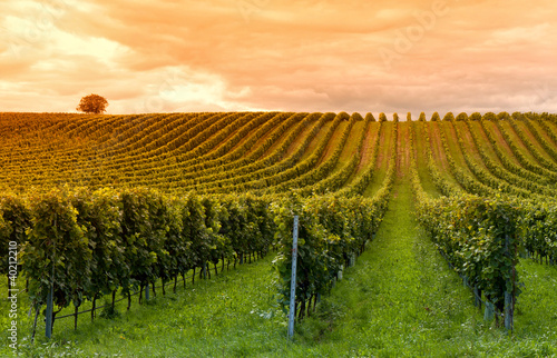 Canvas Prints Vineyard Viticulture