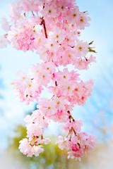 Fototapeta Do biura Sakura flowers blooming. Beautiful pink cherry blossom