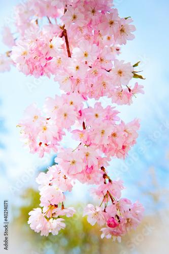 Fototapeta wiosna wiosenna-sakura