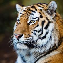 Closeup Of A Siberian Tiger Also Know As Amur Tiger (Panthera Ti