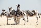 Fototapeta Zebra - group of zebra