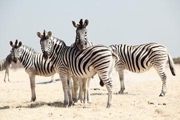 Obraz group of zebra