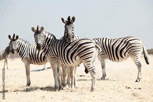 In de dag Zebra group of zebra