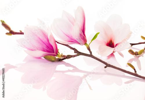 Keuken foto achterwand Magnolia Pink spring flowers with reflection
