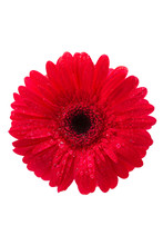 Gerber, Red Gerbera Daisy, Top View, Isolated On White