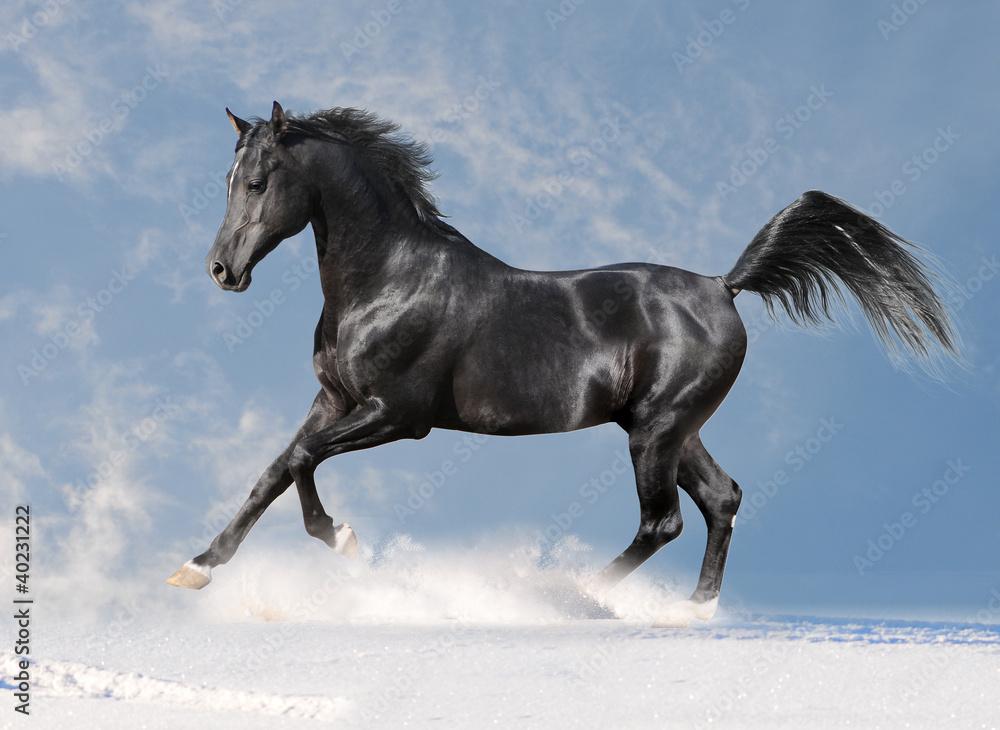 Fototapety, obrazy: black arab horse in the winter