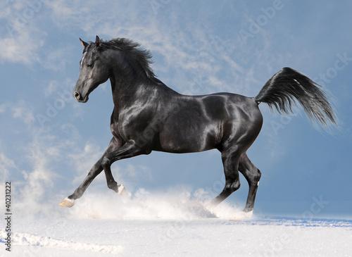 Foto op Canvas Paarden black arab horse in the winter