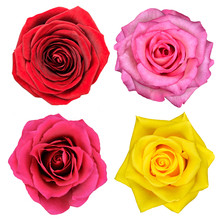 Four Rose Flowers Isolated On ...