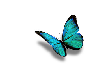 Fototapeta Turquoise butterfly, isolated on white background