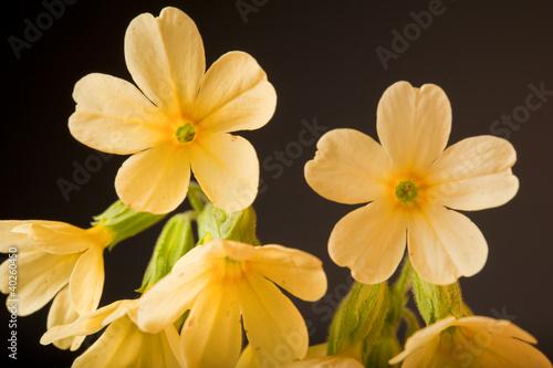 Garden Poster Narcissus Schlüsselblume Makro