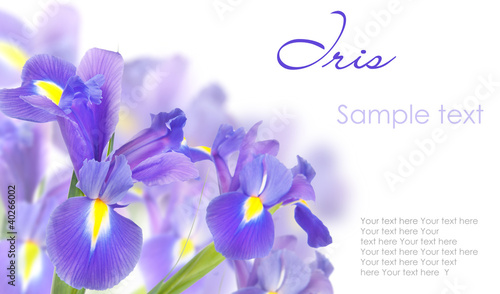 Foto auf AluDibond Iris Blue irises isolated on white