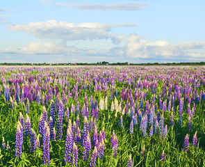 Fototapeta Inspiracje na lato Meadow covered with lupines at sunset