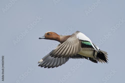 Photo Eurasian Wigeon in flight