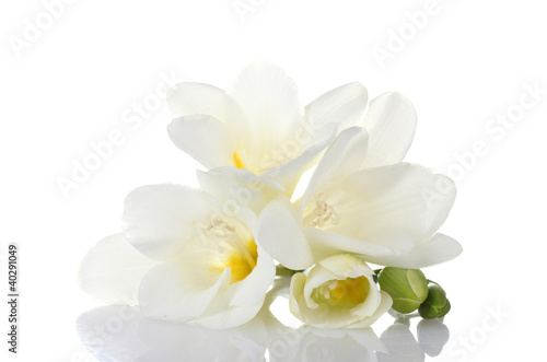 Garden Poster Orchid Beautiful freesia isolated on white