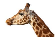 Giraffe Camelopardalis Head Shot Profile Close Up Isolated