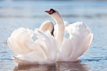 Couple Of Swans Dancing On Water