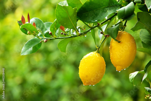 Fotomural yellow lemons hanging on tree