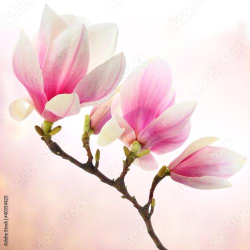 Obrazy Magnolie  dekoracja-magnolii