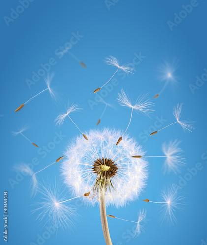 Fototapeta Mniszek lekarski z nasionami odlatującymi z wiatrem na niebieskim tle na ścianę