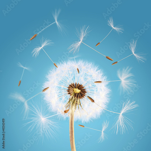 Fototapeta kwiaty kwiat-dmuchawca-z-niebieskim-tlem