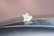 plumeria flower on roof car