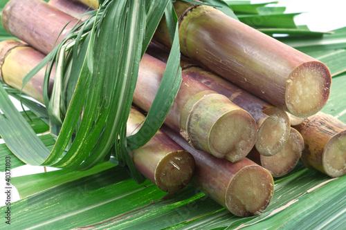 Fotografie, Obraz  cannes à sucre