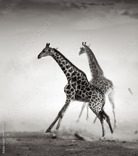 Plakat Żyrafy uciekające