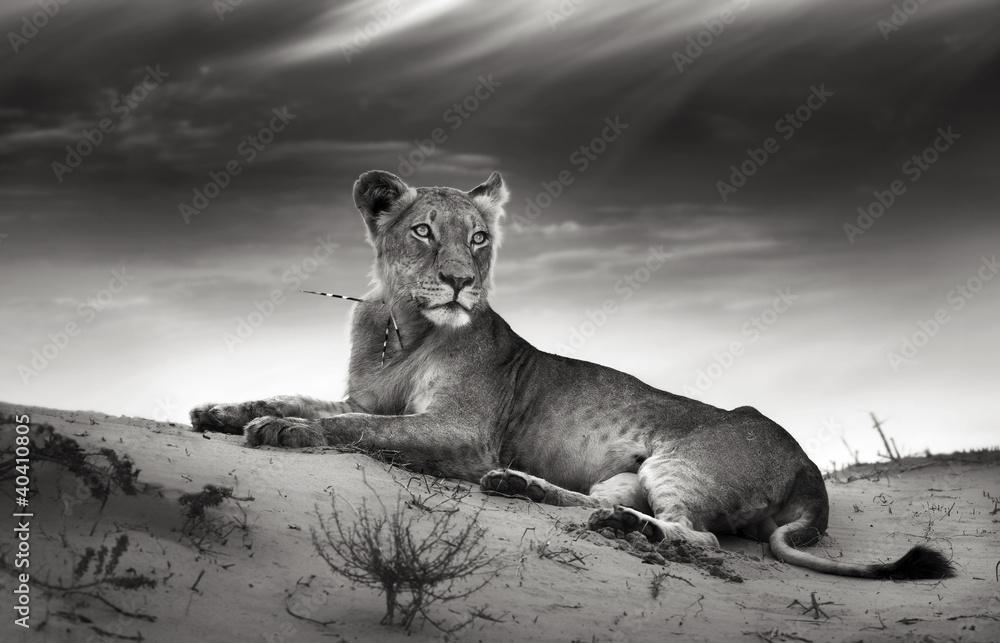 Fototapety, obrazy: Lioness on desert dune