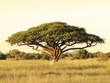 Acacia on the African plain