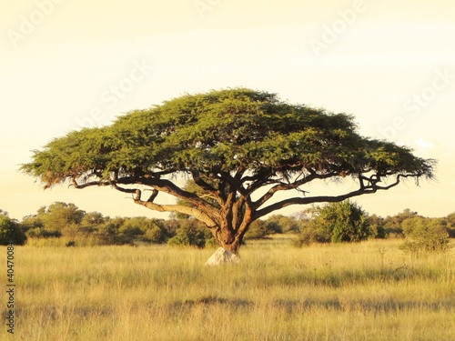 Deurstickers Afrika Acacia on the African plain