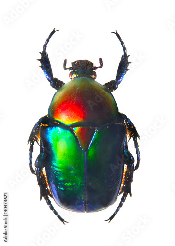 The Scarabaeus -  Dung beetle. Poster