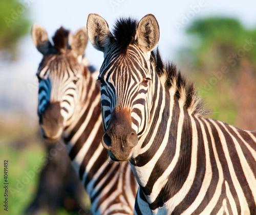 Acrylic Prints Zebra Pair of Zebra head and shoulders