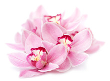 Pink Orchid Flowers Isolated