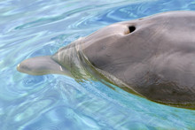Closeup Bottlenose Dolphin (Tursiops Truncatus) With Blowhole