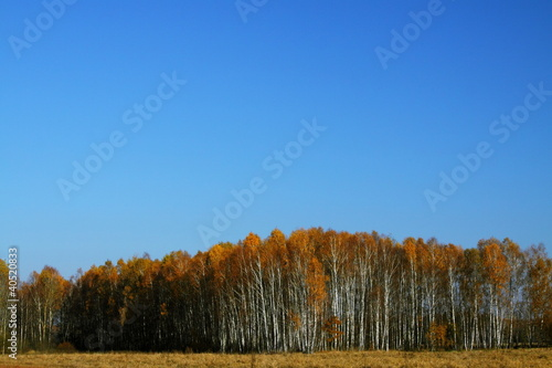 Autumn Birches - 40520833
