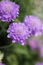 ムラサキの花