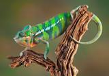 Fototapeta Zwierzęta - Panther Chameleon