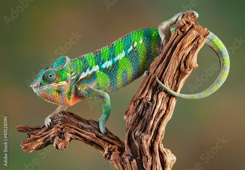 Photo sur Toile Cameleon Panther Chameleon