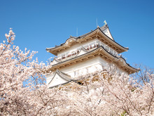 Japanese Castle And Cherry Blossoms In Full Bloom